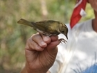 Researchers Study Bird Blood Values at The Preserve